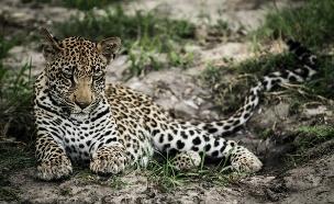 נמר, אפריקה (צילום: רון דבני,  יחסי ציבור )