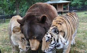 אריה דב נמר (צילום: Noah's Ark Animal Shelter)