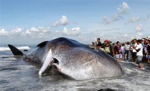 לוויית לווייתן (צילום: AP)