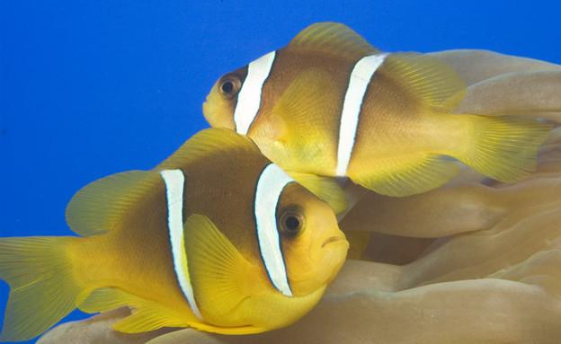 דג נמו (צילום: באדיבות המצפה התת ימי באילת)
