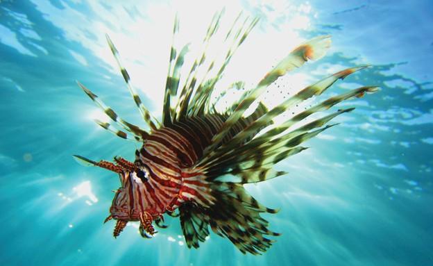 דג הזהרון (צילום: באדיבות המצפה התת ימי באילת)