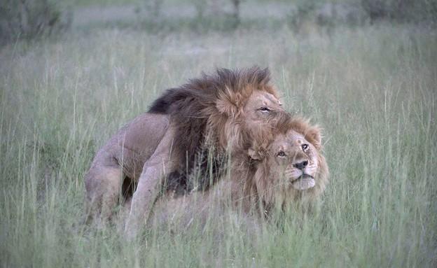 אריות גאים (צילום: Nicole Cambre / Shutterstock)