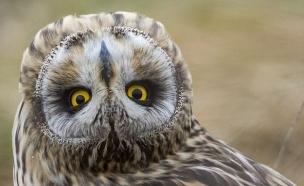 ינשוף הפוך (צילום: אלן בלתזארד)