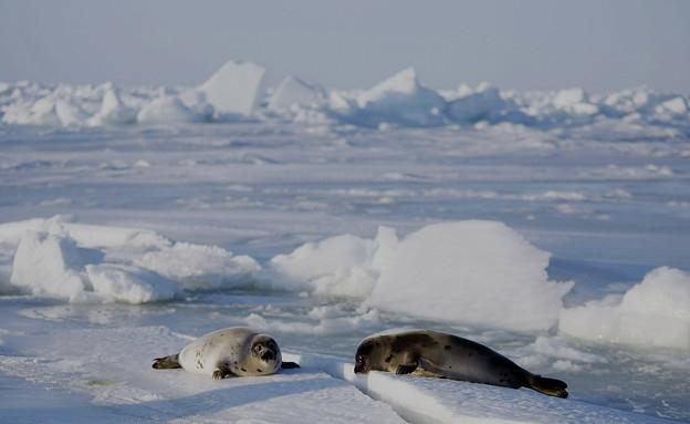 כלבי ים בקנדה (צילום: Joe Raedle, GettyImages IL)