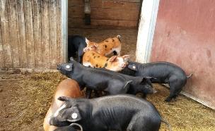 חזירים אוכלים מספוא אורגני (צילום: מיכל לויט, אוכל טוב)