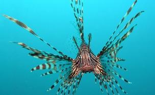 צפו בדגים המסוכנים שמסתובבים בים התיכון (צילום: Jens Petersen)