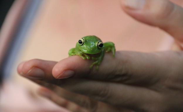 צפרדע - אמזונס