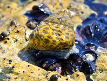 חד שן משובץ Monodonta Turbinata מטייל על בוצית קטנ (צילום: גיא גבע, זווית)