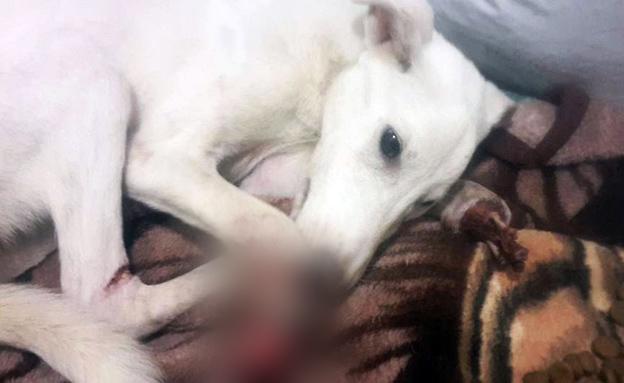 """הכלבה נים לאחר ההתעללות, בחודש שעבר (צילום: עמותת """"הכלבים שבצל"""")"""
