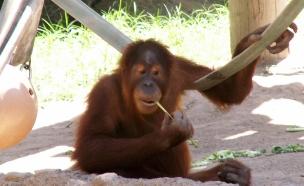 בית חדש לקופים בסך מיליון דולר (צילום: שי בן עמי)