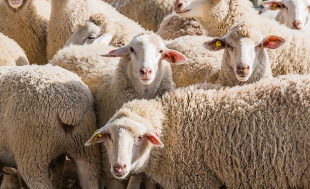 כבשים (צילום: Oleksandr Lysenko, Shutterstock)
