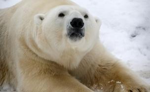 הדובים מכתרים את המדענים, אילוסטרציה (צילום: רויטרס)