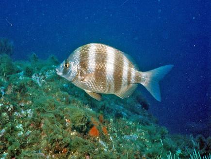 סרגוס (צילום: ויקיפדיה)