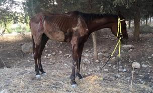 הסוס שהוכה ונמצא ביער, היום (צילום: דוברות המשטרה)
