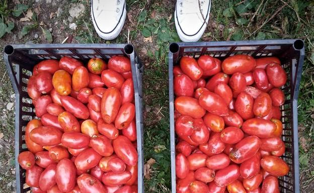 עגבניות מאיטליה (צילום: מיכל לויט, אוכל טוב)