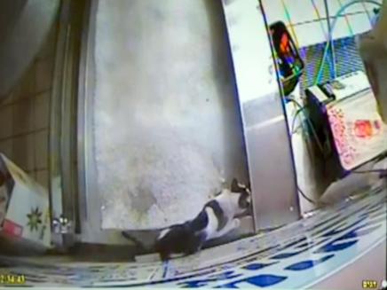 חתולים מסתובבים חופשי (צילום: מצלמות אבטחה)