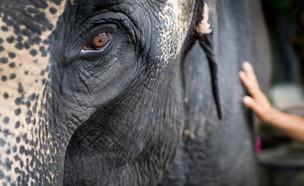 פיל עצוב (צילום: Anutr Yossundara, Shutterstock)
