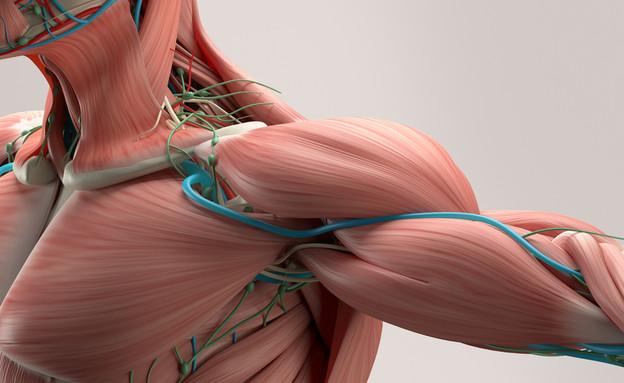 שרירים (צילום: Shutterstock)