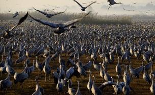 צפו: מסדר הכנפיים - בעמק החולה (צילום: רויטרס)