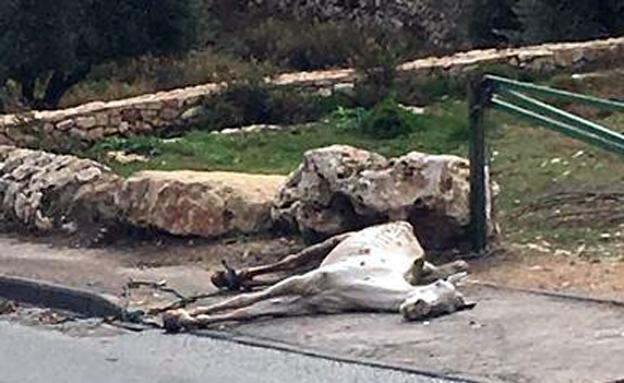 גופתו של הסוס נמצאה מוטלת ברחוב