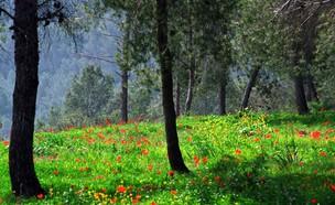 """יער ירושלים וכלניות (צילום: צבי יוכטמן, ארכיון הצילומים קק""""ל)"""