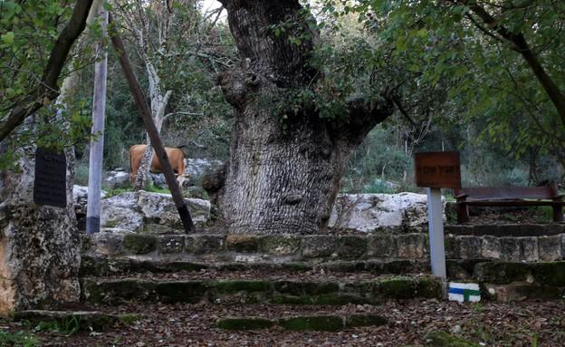 אלון התבור קריית טבעון (צילום: יעקב שקולניק, קרן קיימת לישראל)