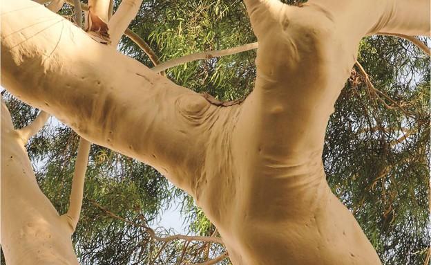 אקליפטוס לימוני בפתח תקווה  (צילום: חנן ישכר, קרן קיימת לישראל)