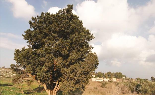 ברוש מצוי באילניה (צילום: חנן ישכר, קרן קיימת לישראל)