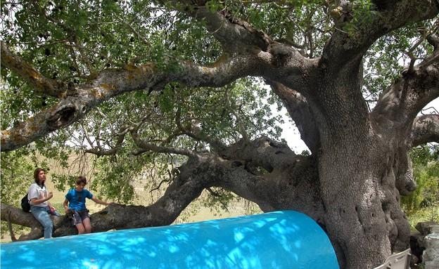 עץ אלה אטלנטית כדיתא (צילום: יעקב שקולניק, קרן קיימת לישראל)