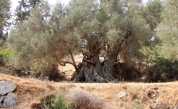 עץ זית אירופי- בית ג'מאל (צילום: יעקב שקולניק, קרן קיימת לישראל)