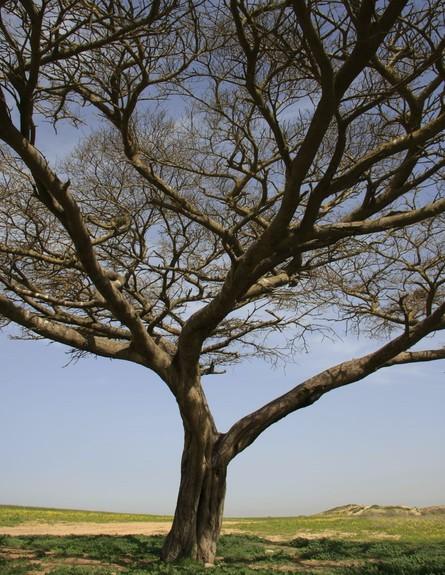 עץ השיטה בבשור (צילום: חנן ישכר)
