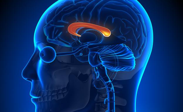 כפיס המוח (צילום: decade3d - anatomy online, Shutterstock)