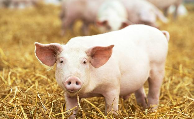 רק החוצה השתלת איברים: האם בקרוב נייצר איברי השתלה באמצעות בעלי חיים? YO-99