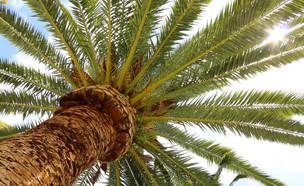 עץ תמר - מבט מלמטה (צילום: SAPhotog, Shutterstock)