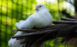 יונה נדירה (אילוסטרציה: Shutterstock)