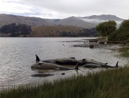 החפת לווייתנים