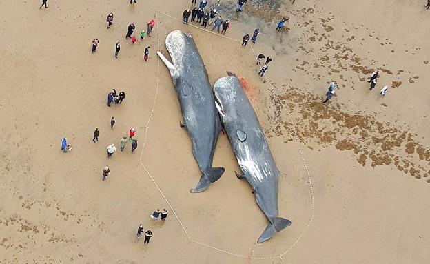 לוויתני זרע על החוף (צילום: לי סוויפט)