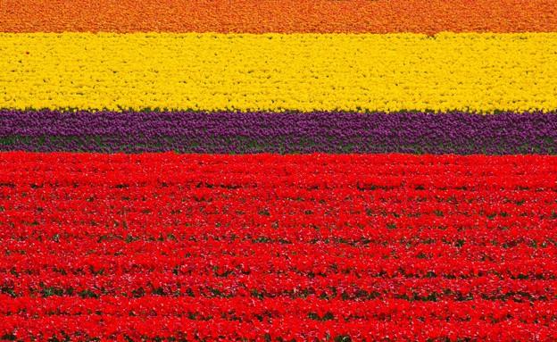 שדות פרחי טוליפ בהולנד (צילום: Olgysha, Shutterstock)