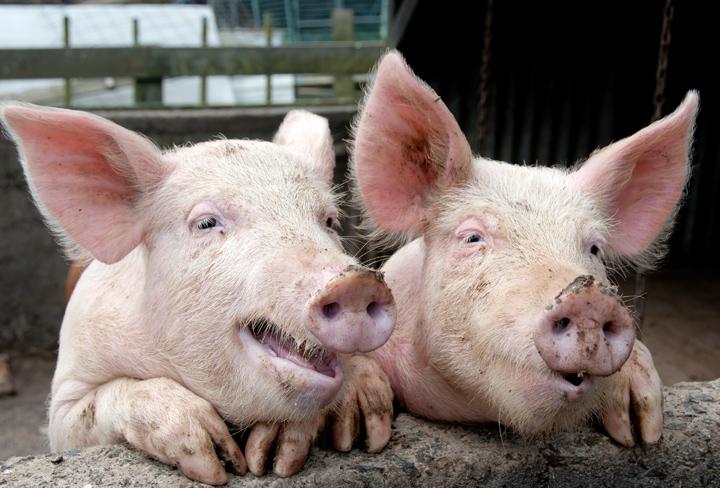 חזירים מאירי עיניים (צילום: Jane White \ 123FR)
