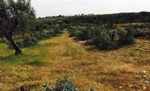 עצי הזית שנכרתו, מכמס (צילום: יש דין)