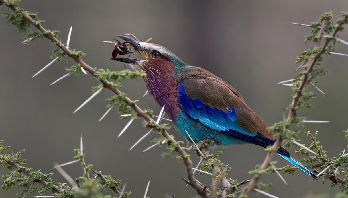 כחל לילכי, ציפור בעלת 8 צבעים, מקפיצה חיפושית
