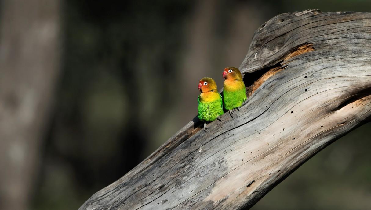 לציפורים האלו קוראים Fischer's lovebird