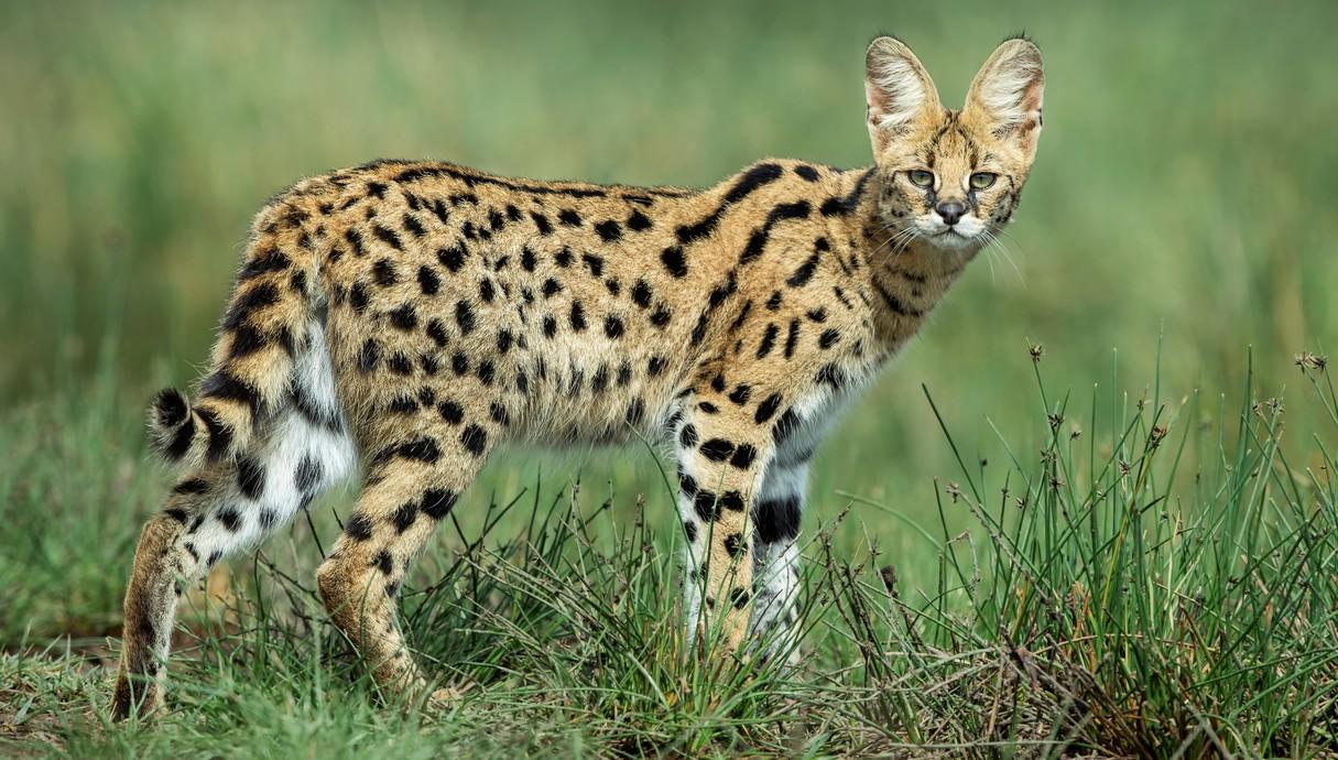 סרוול - אחד החתולים היפים והנדירים ביותר באפריקה