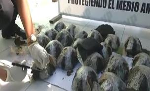 צבים נדירים הוברחו בתוך ארגזים (צילום: רויטרס)