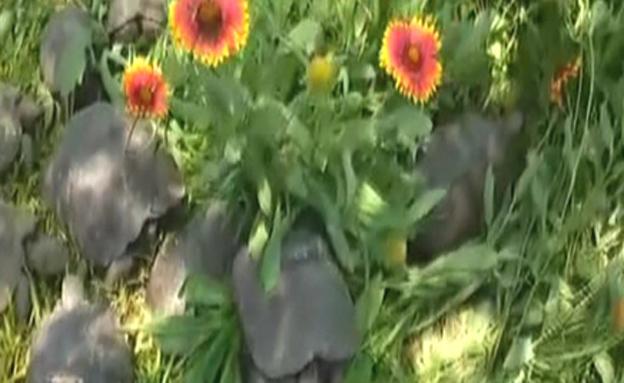 2 צבים מתו בשל התנאים הקשים (צילום: רויטרס)