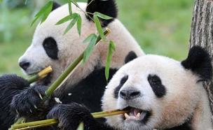 דובי הפנדה - לא רק חמודים. צפו (צילום: sky news)