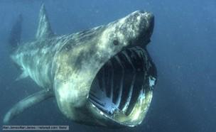 כריש ענק (צילום: יחסי ציבור)