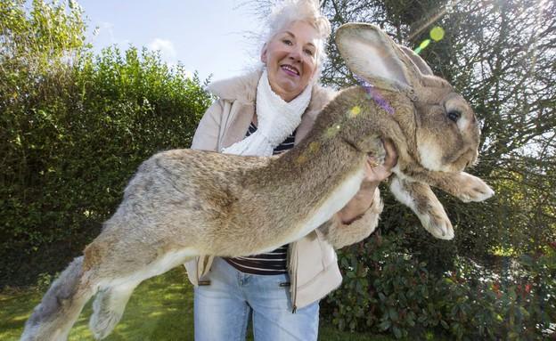 הארנב הגדול בעולם מת בטיסת יונייטד (צילום: יחסי ציבור)