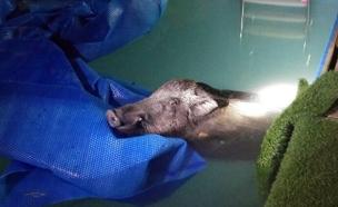 החזיר שנפל לבריכת הצימר (צילום: דוברות המשטרה)