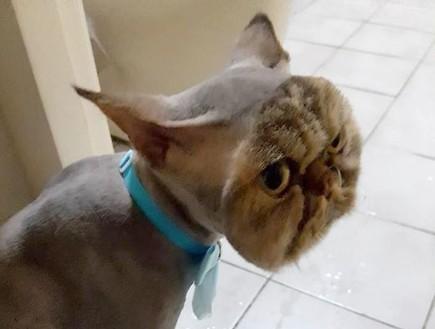 חתול עם תספורת איומה